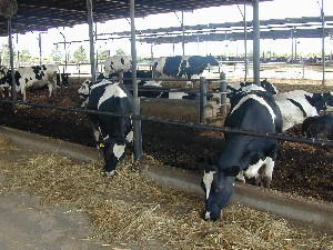 Maizube_farm_cows in barn